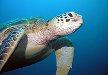 caretta turtle Chania Greece